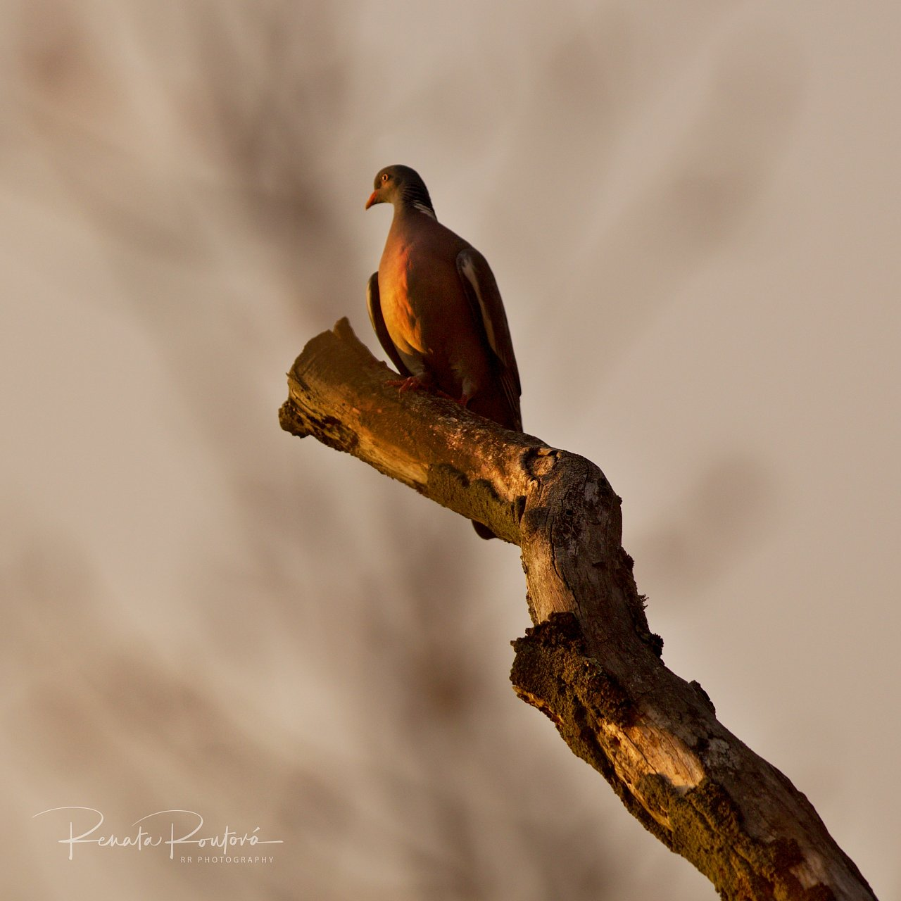 a wood pigeon perching on a dry branch, i had never seen before such a golden one