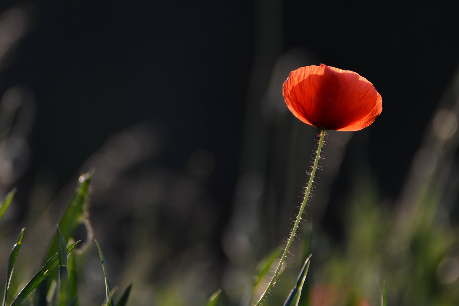 a shining red poppy flower on the black background
