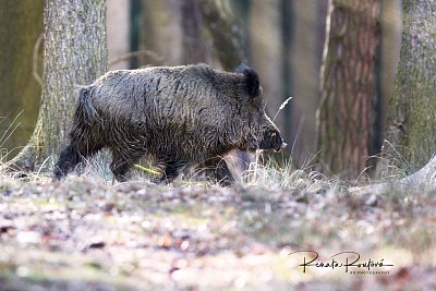 a wildboar crossing the forest path